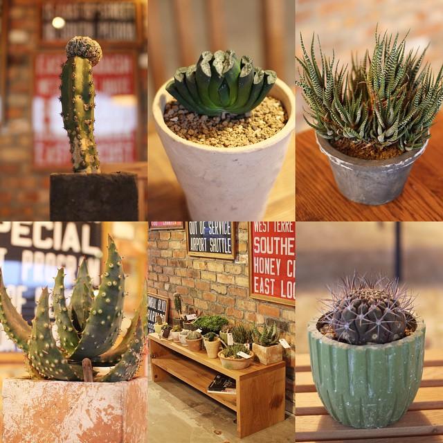 植物が入荷しました。ハオルチア玉扇、十二の巻、アロエ鬼切丸など面白いサボテンや多肉が多数揃っています。PLANTSカテゴリーに追加していますので興味のある方はそちらからどうぞ。http://brooklyn-stores.com